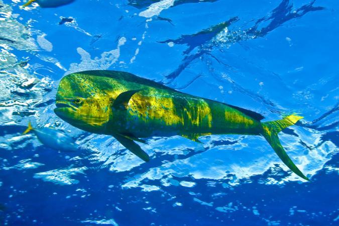 Dolphin fish in MPA in Brazil © IUCN Guy Marcovaldi