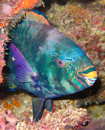 The parrotfish Scarus niger, focal species for the study on larger-scale connectivity