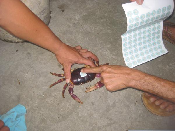 Marking of a land crab. Copyright Chu Manh Trinh.