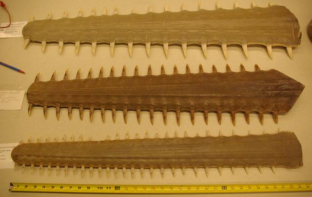 Sawfish rostrum in Florida museum