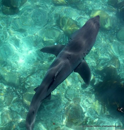 Great white shark (© Stelluto - Marine Dynamics)