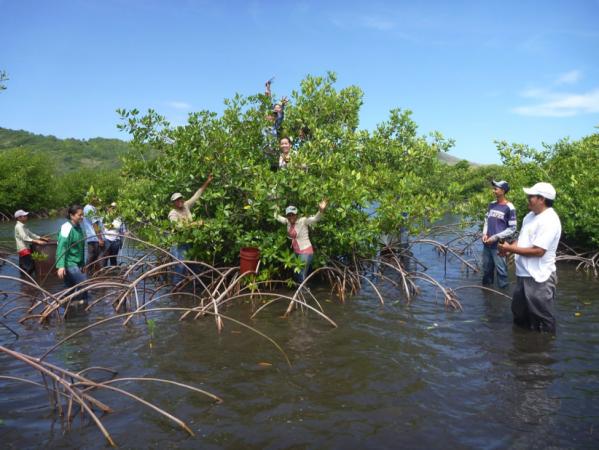 Restored mangrove (© BICA Guanaja)