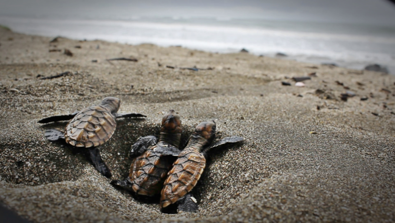 Eastern Pacific Hawksbill Initiative (ICAPO)