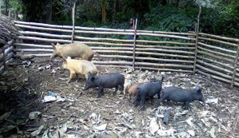 Elevage porcin de l'OP AdEWa