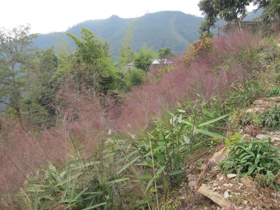 Broomgrass