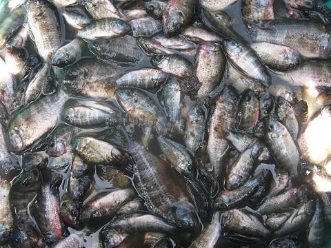 Production étang piscicole des tilapia de l'OP ACEWAMOTO