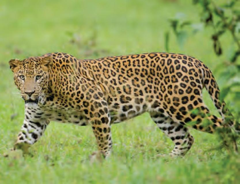 Managing the park's sizeable leopard population is a major challenge © Srikaanth Sekar/Creative Commons