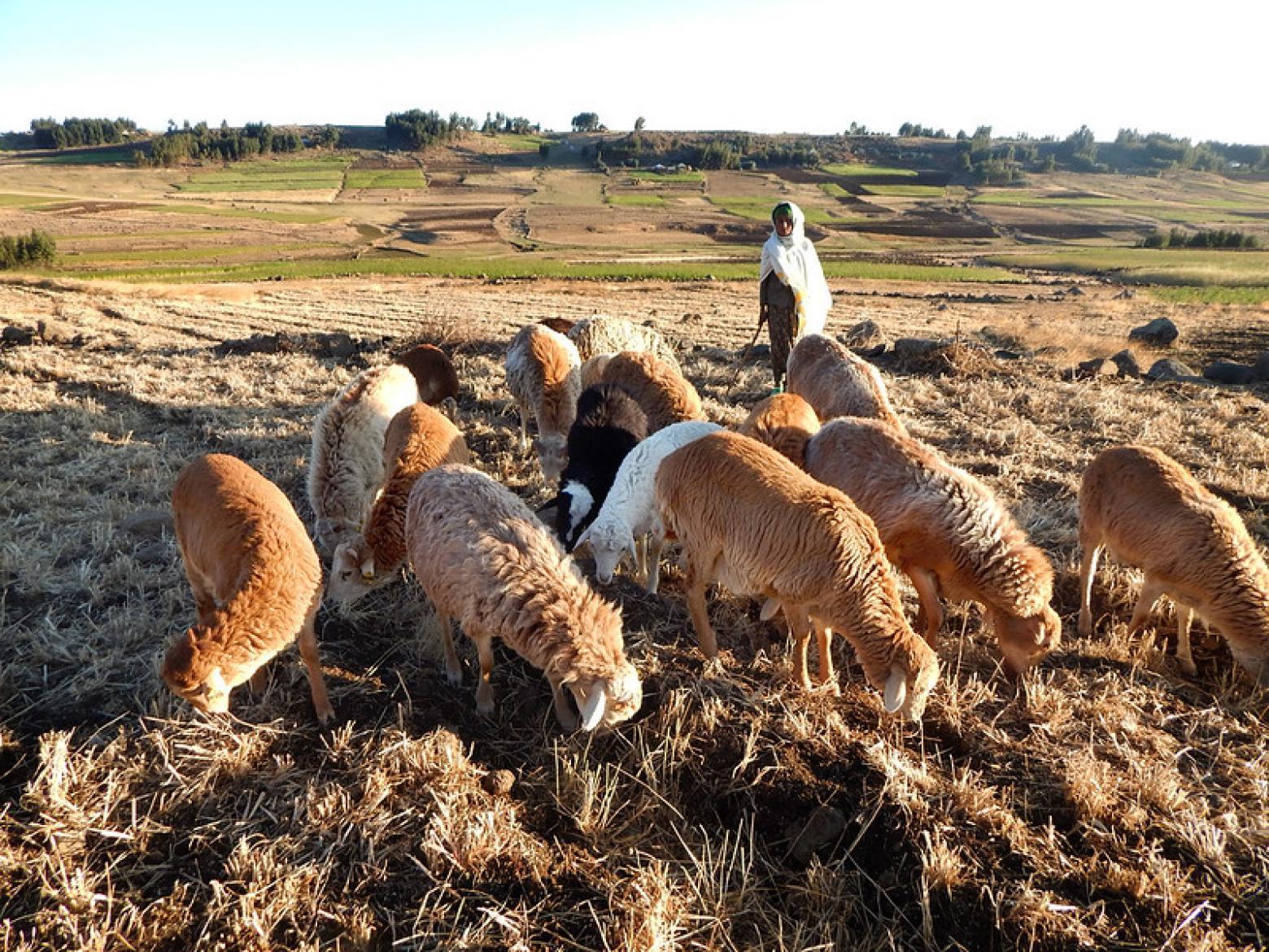 Picture taken by Tesfaye Getachew Mengistu, ICARDA.